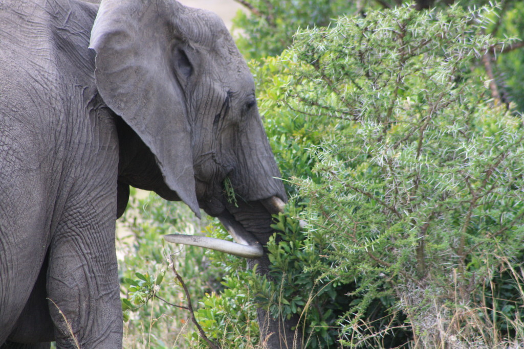We recognized this elephant as one that was outside of our tent, due to the deformed tusk.